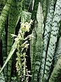 Starr 080607-7083 Sansevieria trifasciata.jpg