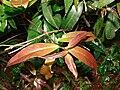Starr 090213-2408 Syzygium jambos.jpg