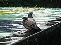 Stevenage Town Centre Pigeons (3878666881).jpg