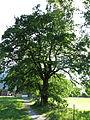 Stieleiche (Naturdenkmal) in Bezau von Nordosten.JPG
