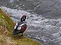 Strömand Harlequin duck (14527482042).jpg