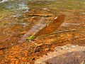 Stream Glory Female from Valparai Anamalai hills P1120031.JPG