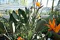 Strelitzia reginae 2zz.jpg