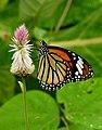Striped Tiger Danaus genutia female by Dr. Raju Kasambe DSCN9503 (3).jpg