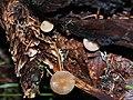 Strobilurus esculentus 62167698.jpg