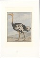 Struthio camelus - 1753-1834 - Print - Iconographia Zoologica - Special Collections University of Amsterdam - UBA01 IZA1000298.tif
