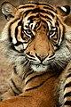 Sumatra-tiger Panthera-tigris-sumatrae.jpg