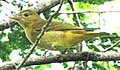 Summer tanager-golden-brown.jpg
