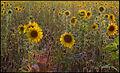 Sunflowers (4866451287).jpg