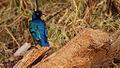 Superb Starling in Samburu.jpg