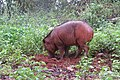 Sus scrofa - Wild boar during Periyar butterfly survey at Sabarimala, 2014 (35).jpg
