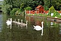 Swans on Staffs and Worcs Canal - geograph.org.uk - 514477.jpg