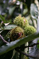 Sweet Chestnut Fruit.jpg