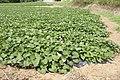 Sweet potato field in Namegata, Ibaraki 04.jpg