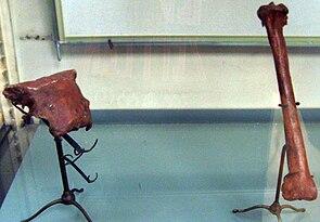 Schädelfragment und Schienbein von Sylviornis neocaledoniae