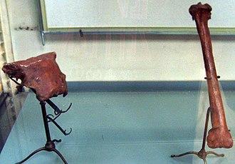 Sylviornis - Sylviornis neocaledoniae skull fragment and tibia, Muséum national d'histoire naturelle, Paris