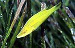 Symphodus rostratus.jpg
