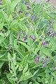 Symphytum asperum - Floraison.jpg