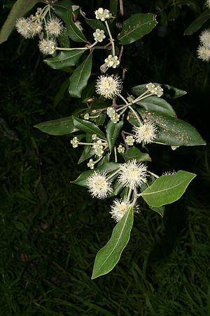 Scarlet myzomela - Turpentine (Syncarpia glomulifera), a commonly-foraged tree