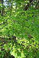 Syringa reticulata kz2.jpg