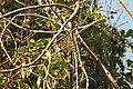 Syzygium hemisphericum വെള്ളഞാറ, Neeliyar Kottam 01.jpg