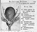 T. Bartholin, vesicae posterior facie Wellcome L0007824.jpg