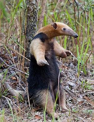 Southern tamandua - In defensive posture
