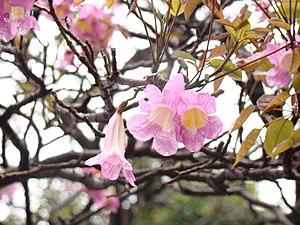 Tabebuia heterophylla - Flowers