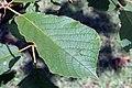 Tabebuia ochracea 3zz.jpg