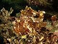 Taenianotus triacanthus (Leaf scorpionfish).jpg