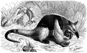 Southern tamandua -  Tamandua by C. Wendt after Gustav Mützel, for Brehms Tierleben, 1887