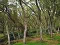 Tamarindenwald Route Forestaire Maido 2.jpg
