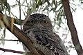 Tawny Frogmouth - Podargus strigoides (7088937419).jpg