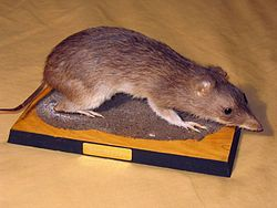 Isoodon sp. taxidermizado
