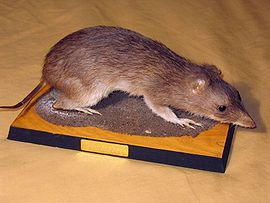 Taxidermied Bandicoot.jpg