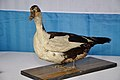 Taxidermied Chinese Duck - Palta - North 24 Parganas 2012-04-11 9576.JPG