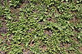 Teguise - LZ-34 - Mesembryanthemum crystallinum 01 ies.jpg