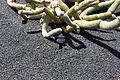 Teguise Guatiza - Jardin - Cleistocactus hyalacanthus 02 ies.jpg