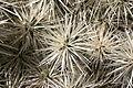 Teguise Guatiza - Jardin - Cylindropuntia tunicata 04 ies.jpg