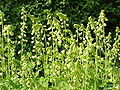 Tellima grandiflora1.jpg