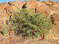Tephrosia brachyodon ii.jpg