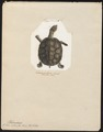 Testudo subrufa - 1700-1880 - Print - Iconographia Zoologica - Special Collections University of Amsterdam - UBA01 IZ11600157.tif