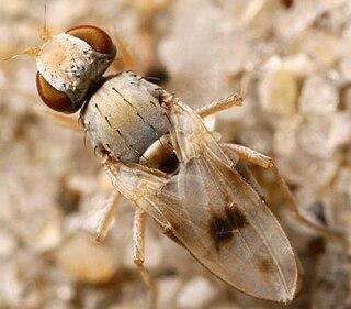 Canacidae