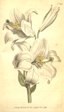 The Botanical Magazine, Plate 278 (Volume 8, 1794).png