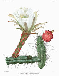 The Cactaceae Vol II, plate XXI filtered