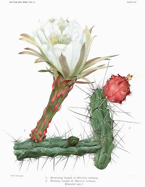 The Cactaceae Vol II, plate XXI filtered.jpg