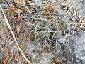 Thelocactus hexaedrophorus (5726843651).jpg