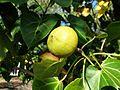 Thespesia populnea fruit Kewarra 4199.jpg