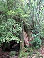 Third Generation Tree Yakushima.jpg