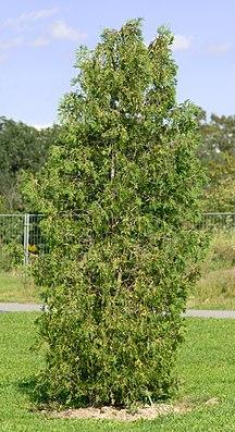 Abendländischer Lebensbaum (Thuja occidentalis)